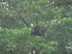 Orangutan Near Sukau