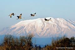 Sandhills Over St. Helens (Gary Grossman) Tags: wild mountain landscape wildlife cranes pacificnorthwest mountsthelens goldenhour sandhillcranes mountainpeak pacificflyway garygrossmanphotography