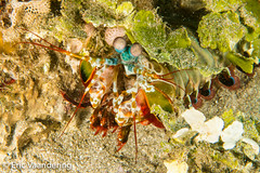 Peacock Mantis (ericvaandering) Tags: animals arthropods crustaceans divesites giliislands indonesia invertebrates mantigibay mantisshrimp peacockmantis batulayar westnusatenggara