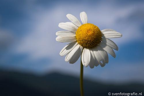 Margriet uit de Alpen