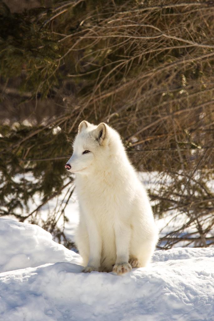 Renard arctique - Arctic Fox - Parc Omega