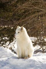Renard arctique - Arctic Fox - Parc Omega (pylacroix) Tags: winter hiver arctic qubec fox parcomega arctique montebello renard 2015