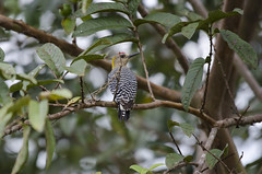 Melanerpes hoffmannii (Val Che) Tags: trees wild tree bird animal animals forest woodpecker costarica rboles hoffmann selva beak feather pic arbres bosque ave pico rbol pluma bec animaux arbre fort oiseaux plumes pjaro plume carpintero sauvage plumas hoffmannswoodpecker melanerpeshoffmannii forts picdehoffmann carpinterodehoffmann