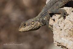 Starred Agama Lizard (Kelly Love's Photography) Tags: canon eos reptile lizard canonrebel cypress canoneos canonphotography t4i spinylizard agamids starredagama laudakiastellio canon650d starlizard canoneos650d slingtailedagama canonrebelt4i