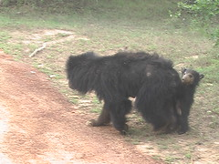 Baby and Mother Sloth Bear