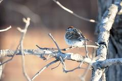 2016 Chipping Sparrow 10 (DrLensCap) Tags: park chicago bird robert nature illinois village north center il sparrow kramer chipping