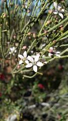 Philotheca brucei (ClareSnow) Tags: philothecabrucei philotheca white flower breakaway outback mulgacountry mulgascrub arid cue australia winter