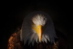 You!!! yes, you!!! (Alfredo.Ruiz) Tags: baldeagle beak detailed eagle sam uncle