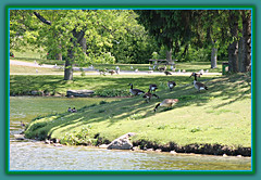 Family Picnic (bigbrowneyez) Tags: flickrfamily familypicnic canadageese teenagers hills greengrass beautiful gathering picnictable fun sunny afternoon light shadows trees ducks birds animals nature natura feathers wings water ottawariver andrewhaydenpark ottawaontario canada tranquil serene magical adorable bello bellissimo frame cornice dof