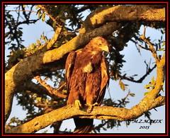 TAWNY EAGLE (Aquila rapax)......MASAI MARA......SEPT,2015 (M Z Malik) Tags: nikon d3x 200400mm14afs kenya africa safari wildlife masaimara kws exoticafricanwildlife exoticafricanbirds