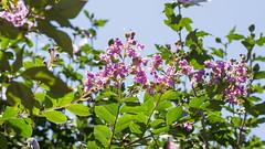 201608_09_2560 (noriko_v) Tags: crapemyrtle flower summer nature