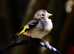 Juvenile goldfinch (Edek Giejgo) Tags: goldfinch europeangoldfinch finch juvenilegoldfinch passerine gardenbird chardonneret maknine szczygiel cardueliscarduelis