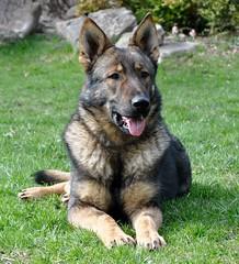 German Shepherd Dog Mac (IN CANIS SPERAMUS) Tags: germanshepherd servicedog dog dogtraining incanissperamus