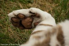 IMGP2370 (acornuser) Tags: uk kent pentax sanctuary bigcats whitetiger k3 wildlifeheritagefoundation whf