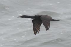 Brandt's Cormorant (J.B. Churchill) Tags: brco birds brandtscormorant ca california gannetspelicansandcormorants places sandiego sunsetcliffs taxonomy unitedstates us