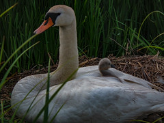 Lookout (Paul Rayney) Tags: baby nature swan nest young cygnet hatch fledge
