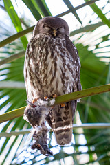 IMG_7823.jpg (M Bee) Tags: animals barkingowl bird