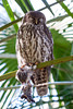 IMG_7823.jpg (M Bee) Tags: animals barkingowl bird