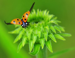 Red/Green liftoff (nikkorglass) Tags: red macro green micro ladybird ladybug röd nyckelpiga grön solhatt explored