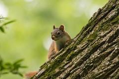 7K8A3812 (rpealit) Tags: scenery wildlife nature east hatchery alumni field hackettstown red squirrel