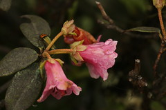 Rhododendron glaucophyllum Rehder (2) (siddarth.machado) Tags: rhododendron northsikkim himalayanflora 3000msl