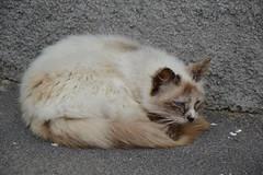 aores (ELENA TABASSO) Tags: cats portugal animals cat gatto gatti animali animale vacanza portogallo isola aores azzorre
