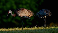 Jul 24 20165465 (Lake Worth) Tags: animal animals bird birdwatcher birds canonef500mmf4lisiiusm canoneos1dxmarkii everglades feathers florida nature outdoor southflorida waterbirds wetlands wildlife wing