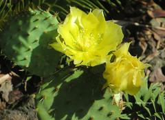 2-IMG_7136 (hemingwayfoto) Tags: berggarten blhen blte feigenkaktus gelb kaktus opuntiaphaeacacthus