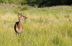 Red deer/Kronhjort/Cervus elaphus (Anneliefoto) Tags: blekinge eriksberg lngtavstnd longdistance sweden sverige kronhjort reddeer cervuselaphus