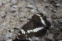 Eurasian White Admiral - Limenitis camilla (Bjrn S...) Tags: eurasianwhiteadmiral limenitiscamilla kleinereisvogel kleinereisfalter whiteadmiral petitsylvain butterfly schmetterling papillon farfalla mariposa