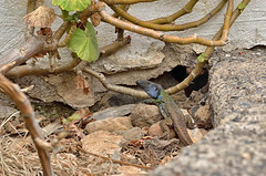 jaszczurka-DSC_8945 (Marek7) Tags: lizard reptile nature animal tenerife island
