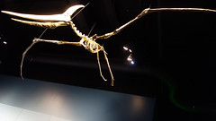 Volador 03028 (Omar Omar) Tags: pterosaurs pterosaurios ptrosaures flugsaroj flyingdinosaurs dinosauriosvoladores flugantedinosaroj dinosauresvolants lagartosvoladores nhm naturalhistorymuseum museodehistorianatural muse museo museum losangeles losngeles losangelesca losngelescalifornia la california californie usa usofa dscrx100 sonydscrx100 rx100 cybershotrx100 fsil petrificado