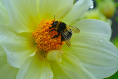 Still working on a wet summers day (late Breaks Devon) Tags: dahlia flower busy bee bumble honey late breaks north devon english country garden petals