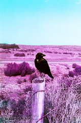 Portrait of a Raven - Infrared (Lon Casler Bixby) Tags: loncaslerbixby landscapephotography landscape neoichi nature naturephotography nikonphotography raven ravens travelphotography birds blackbirds corvus corvid corvidae wilderness wildlife infrared infraredphotography purple filmphotography lomochrome artistic artisticphotography california nikon wildlifephotography 35mm rural interiordesign outdoorphotography scapes fineartphotography fineart fineartprints