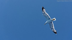 Gabbiano in volo sull'Elba (Abdujaparov) Tags: animal hdr animale gabbiano isoladelba outdoor europa uccello bird 2016 italy italia mare europe seagull sea