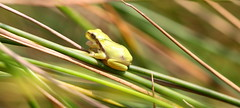 very small treefrog (bugman11) Tags: treefrog fauna frog frogs animal animals amphibians amphibian grass canon 100mm28lmacro nature nederland thenetherlands macro 1001nightsmagiccity 1001nights platinumheartaward