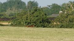 Red Fox / Renard Roux / Louarn Rous (Dr Wood's Wildlife Photos) Tags: redfox fox vulpesvulpes renardroux renard zorrorojo volpecomune rotfuchs rdrv vos gewonevos rodevos  rdrev raposacomum rdrv louarn