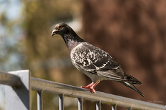 ND5_2190_Lr-edit (Alex-de-Haas) Tags: breda nederland thenetherlands animal balcony balkon bird city dier duif pidgeon pigeon stad tam tame vogel