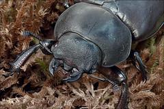 Lucanus-cervus_6 (amadej2008) Tags: taxonomy:binomial=lucanuscervus stagbeetle hirschkfer roga kleman lucanuscervus stag beetle rogai klemani lucanus cervus