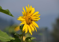 Sunflower (careth@2012) Tags: nature petals scene yellow summer