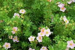 Frill-like (petrOlly) Tags: europe europa poland polska polen lodz nature natura przyroda garden inthegarden summer flower flowers plants plant