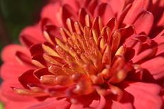 A2- Macro Flower (RachelFalwellPhotography) Tags: a2 focal length macro flower 2016