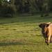Curious highland cow