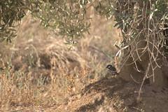 Carbonero (Ru GarFer) Tags: llerena extremadura badajoz ave pjaor bird txoria egaztia carbonero tronco olivo sombra posado