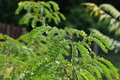Not mimosa (petrOlly) Tags: europe europa poland polska polen lodz nature natura przyroda garden inthegarden summer plants plant
