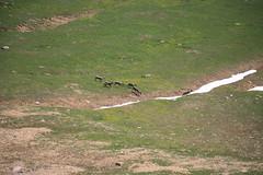 Willmore Wilderness Park (Alberta Parks) Tags: caribou herd hoofed mammal rangifertarandus wildlife animal alberta northern rockies mountain wilderness willmore canada ungulate alpine meadow