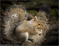 Grey Squirrel (touched with red} (Charles Connor) Tags: leigh england unitedkingdom gb squirrels greysquirrels rodents furryanimals furry cute grey animalphotography animalportraits animals animalcloseups penningtonflash uknature nature naturesbeauty naturephotography wildlifephotography wildlife wild canon100400lens canoneos canon7dmk11