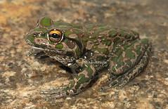 Spotted-thighed Bell Frog (Litoria cyclorhyncha) (Heleioporus) Tags: spottedthighed bell frog litoria cyclorhyncha near lake cronin western australia