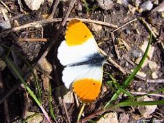 Butterfly 1052 (+360000 views!) Tags: butterfly borboleta farfalla mariposa papillon schmetterling