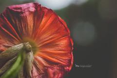 under ranunculus (The Gaggle Photography | Jessica Nelson) Tags: ranunculus macro macroflowers macroflower flowers nature jessicanelson gagglephotography freelensed freelensing velvet56 lensbaby lensbabyvelvet56 macromonday